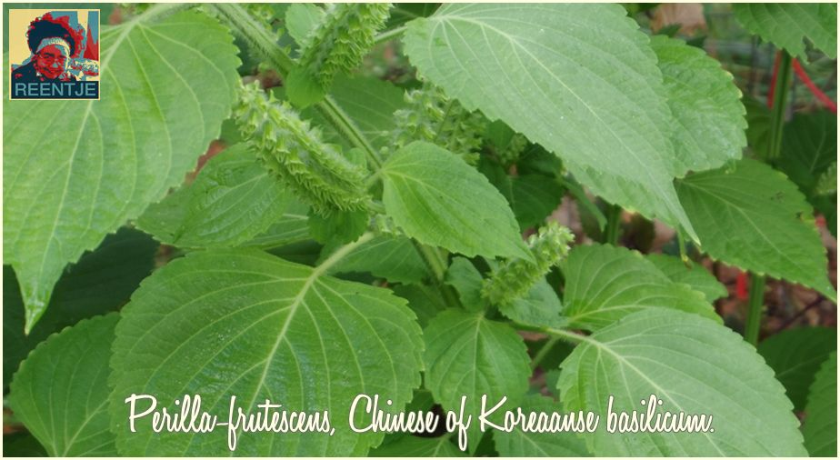 fabriek-green-shiso-perilla-frutescens-231131-cr-logo
