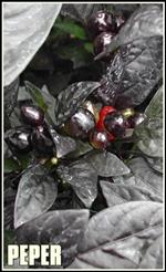 black_pearl_plant-tumb2-re