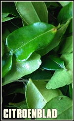 kaffir lime leaves-tumb-re